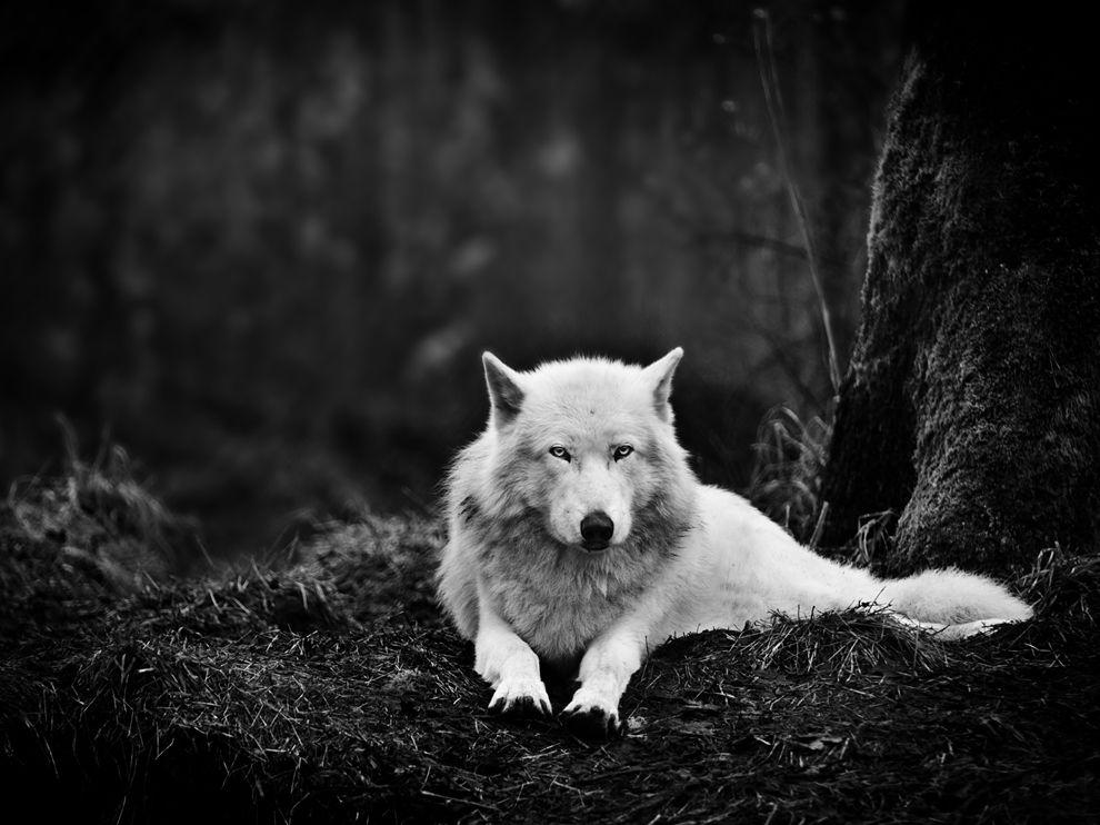 木の根元に座る狼