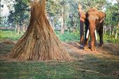 Nepal elephant